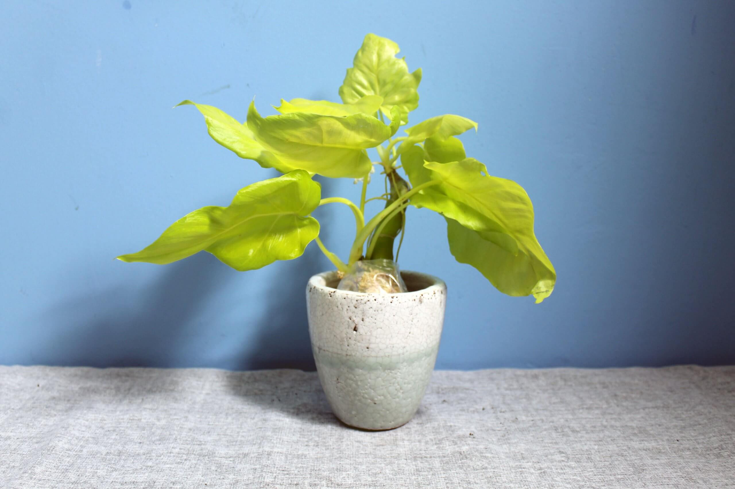 Philodendron Warscewiczii 'Flavum'